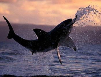 Фото. Хищная белая акула