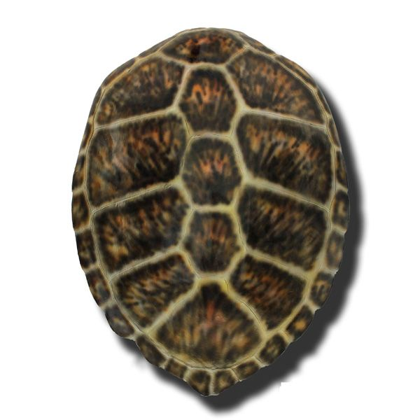 17 Best images about Turtle Shell Collection on Pinterest ...
