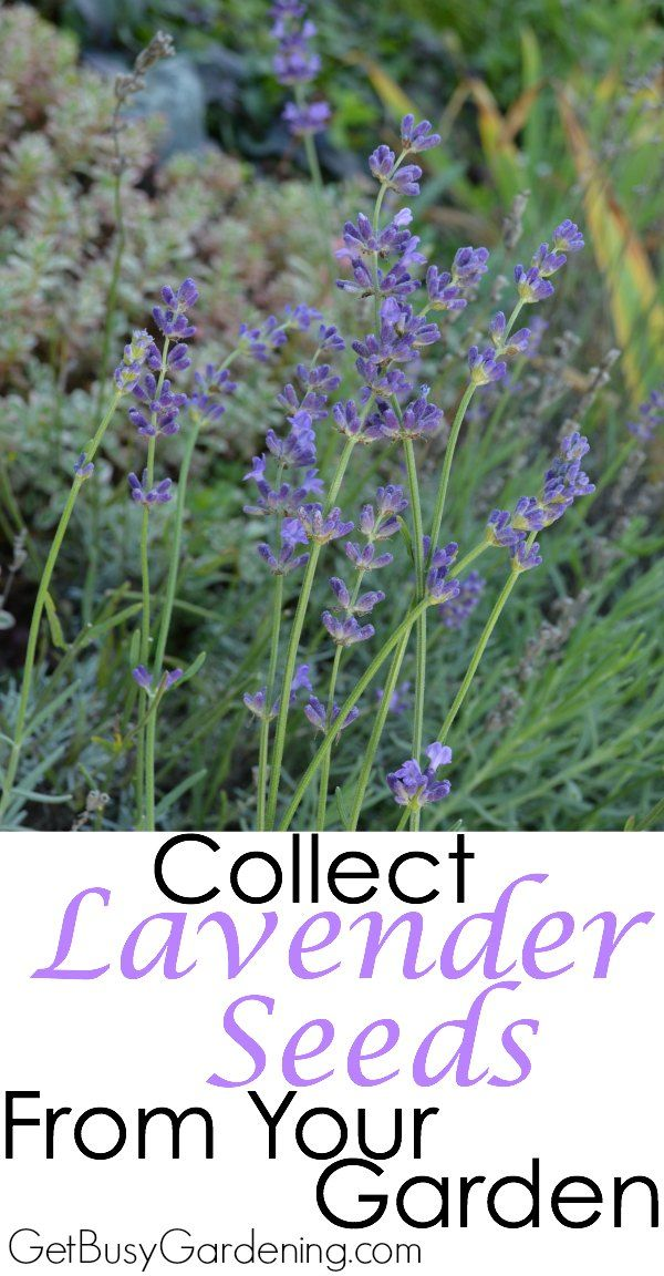 It's easy to collect lavender seeds from the garden. Follow these steps and…