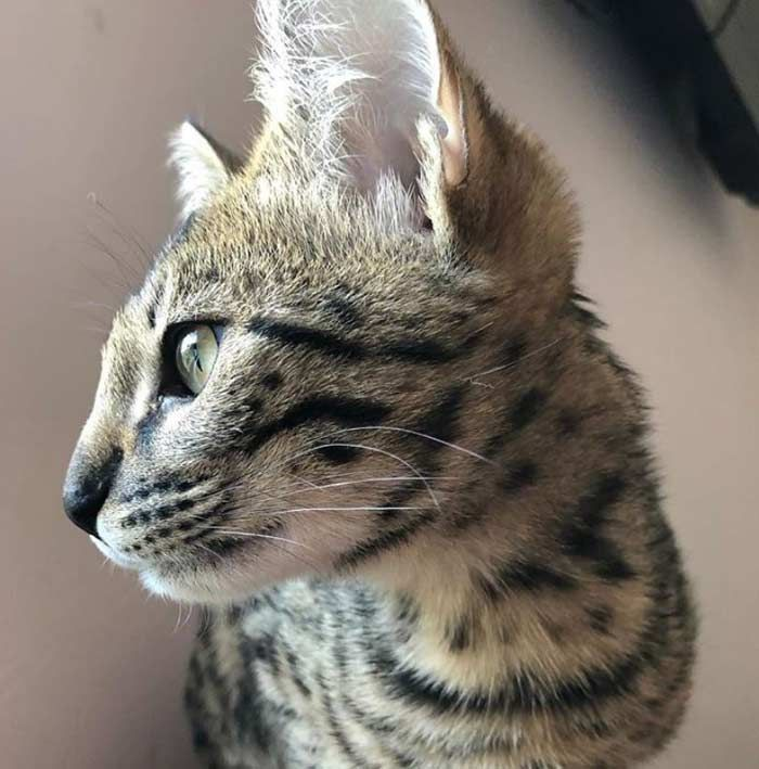 Gato Savannah Todo Sobre El Gato Más Alto Del Mundo Feelcats Gatos Savannah Fotos