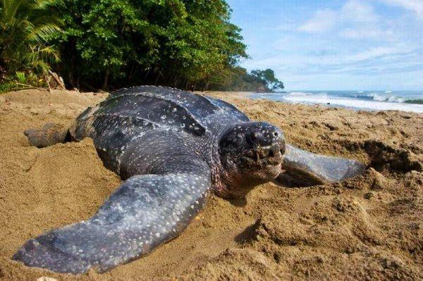 La tortuga laúd (Dermochelys coriacea) es la tortuga marina más grande de todas, y se caracteriza porque en vez de caparazón tiene placas de hueso en la espalda, cubiertas por piel y algo de grasa.    Por lo general, miden de 1 a 2 metros de longitud y de adultas llegan a pesar 600 kilogramos, pero se han registrado pesos de casi una tonelada.    Las tortugas laúd se alimentan principalmente de medusas, y poseen, como puede apreciarse en la fotografía, una boca y garganta temibles.