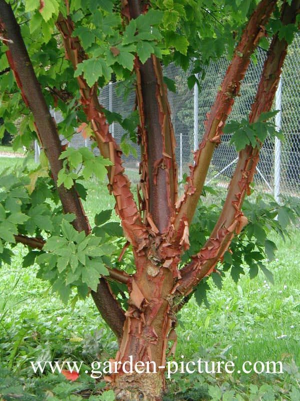 Acer griseum (papieresdoorn). Of all the small trees in cultivation, this tree stands supreme with gorgeous, peeling cinnamon coloured bark and red and orange autumn colours. The autumn colour and peeling bark gives Acer griseum year round interest.