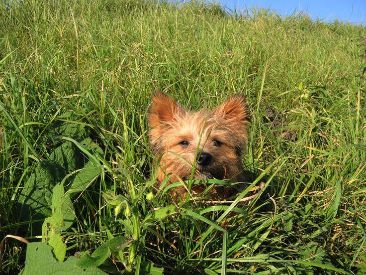 Red Prince Norwich Terrier