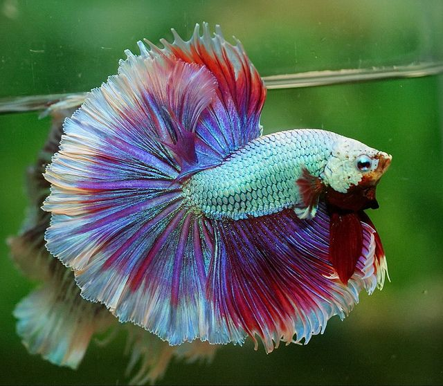 442 best beautiful bettas fantastic fish images on for Best food for betta fish