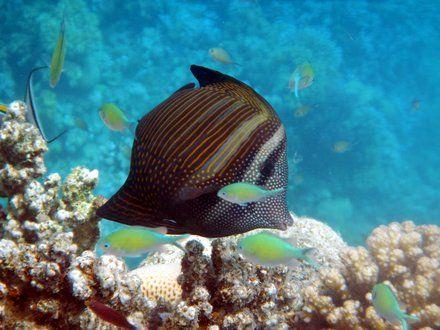 Rafa koralowa, Egipt