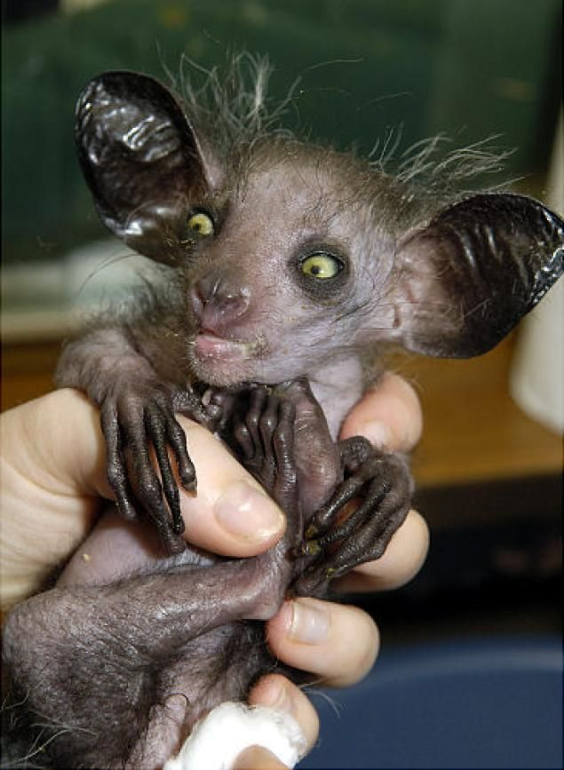The Aye-Aye is currently an endangered species partially due to the fact many in its native Madagascar view the animal as an evil omen and kill them on the spot.