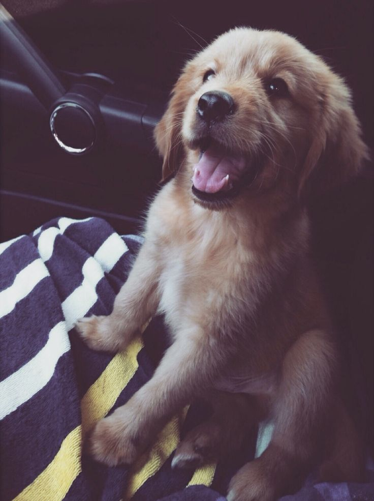 I have decided I need a golden retriever puppy and will name him Castiel