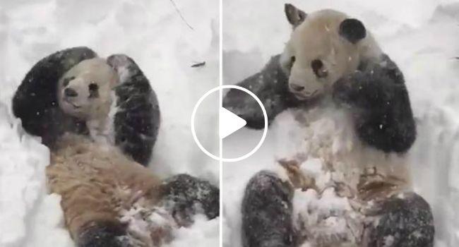 Vídeo De Adorável Panda a Desfrutar Da Neve Torna-se Viral