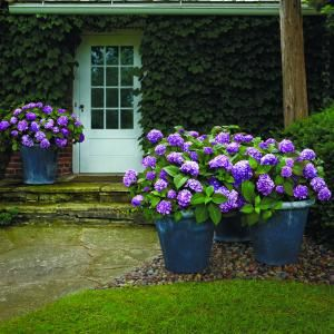 BloomStruck Hydrangea, Hardy Heat Resistant Hydrangea......need these when we redo the front yard! :)