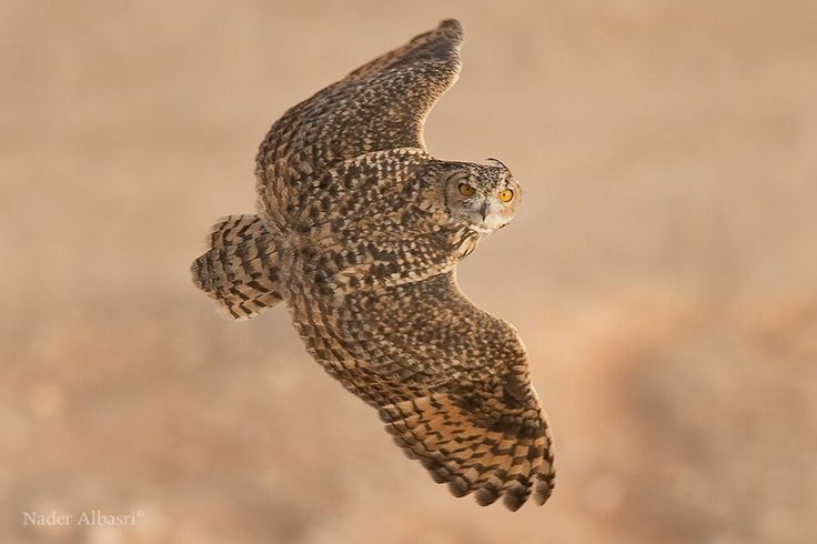 Pharaoh Eagle Owl -