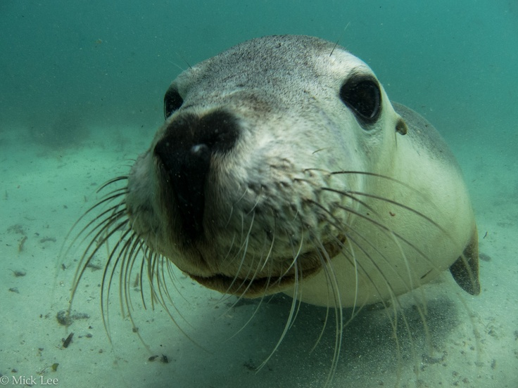 Great fun dive with the sealions @ Jurien Bay, Western Australia.