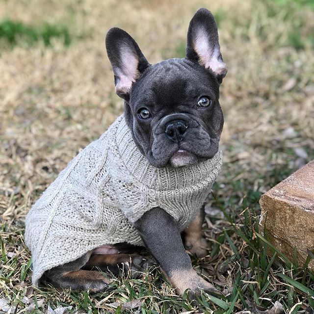 Two Snuggly Tan French Bulldog Puppies Wrapped Up Together Under