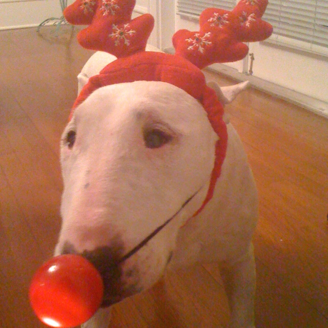 Christmas Bully!Bull Terriers, Christmas Bullying, Defective Lol Boards