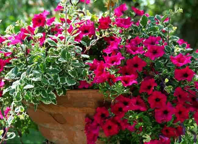 les 18 meilleures images du tableau jardin fleurs pour jardiniere sur pinterest jardinage en. Black Bedroom Furniture Sets. Home Design Ideas