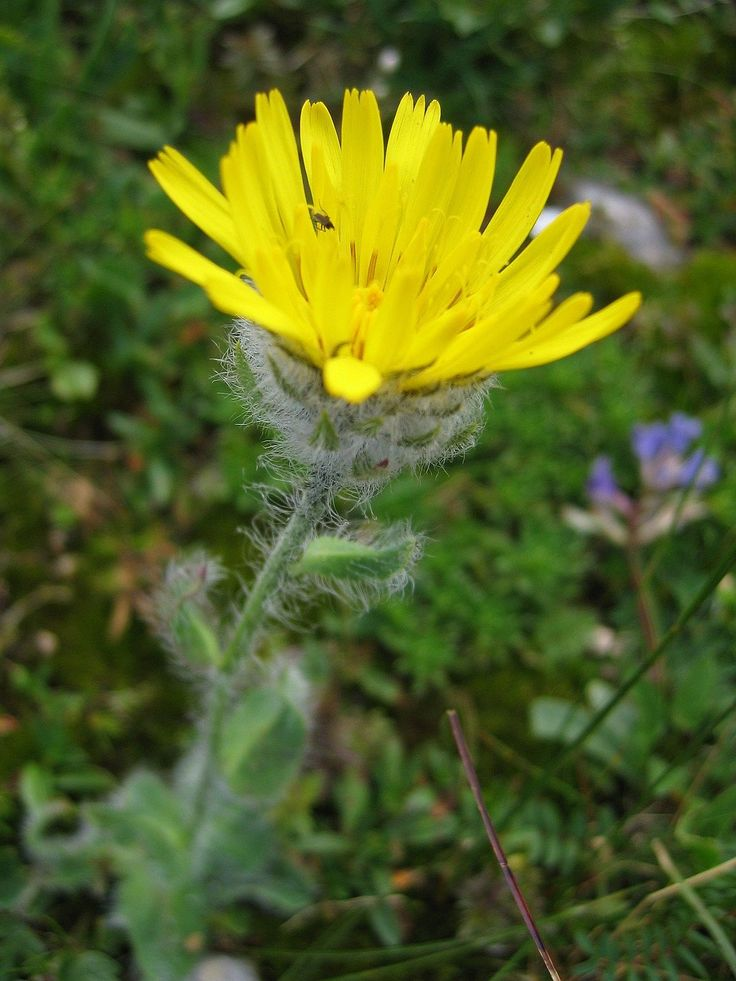 Hieracium villosum - Wikipedia    (piliferum details in table under Polymorphism)