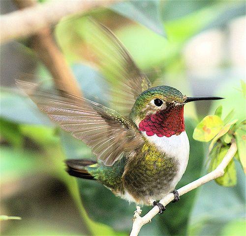 Hummingbird in motion.