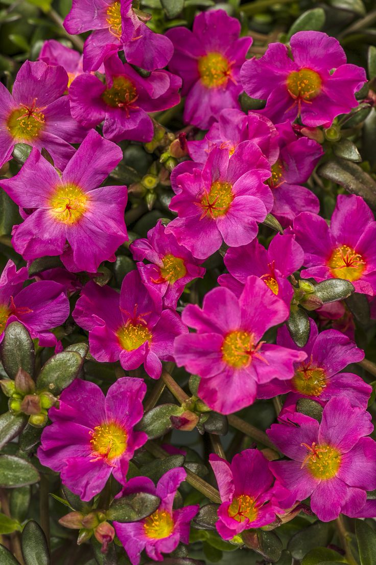 Mojave® Fuchsia - Moss Rose - Portulaca grandiflora 2016- the color is so vibrant, use some in barrels.