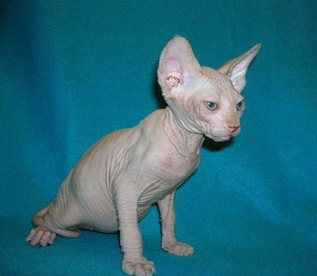 Dr Evil cat!!