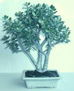 Bonsai - Crásula, Árbol de jade