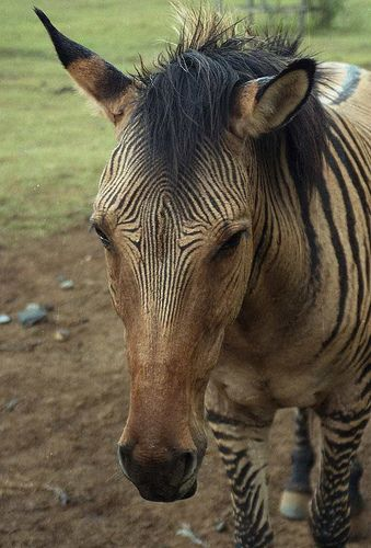 Zebroid or Zorse,- A Horse/Zebra hybrid - Mount Kenya Safari Club, Nanyuki, Kenya