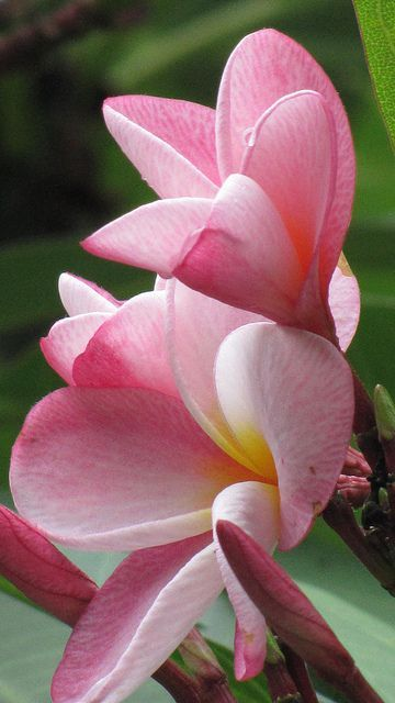 how to get plumeria to bloom