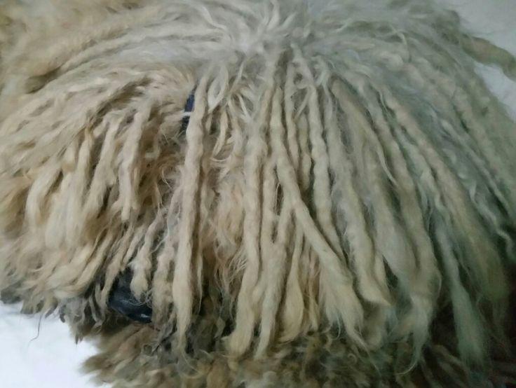 #komondor #dog