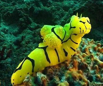 The Sea Slug Forum - Notodoris minor