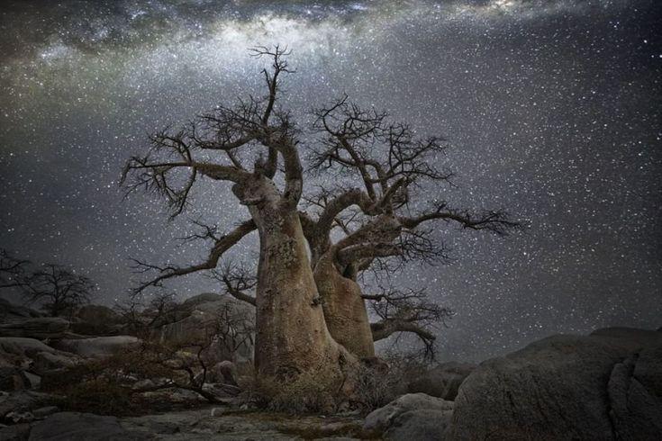 """Si stagliano sul cielo stellato le sagome degli alberi secolari ritratti da  Beth Moon  in Sudafrica, Botswana e Namibia. La fotografa ha perlustrato zone remote e completamente disabitate per il progetto ''Diamonds Night'', scattando esclusivamente nelle notti senza luna. """"Il rapporto dell'uom"""