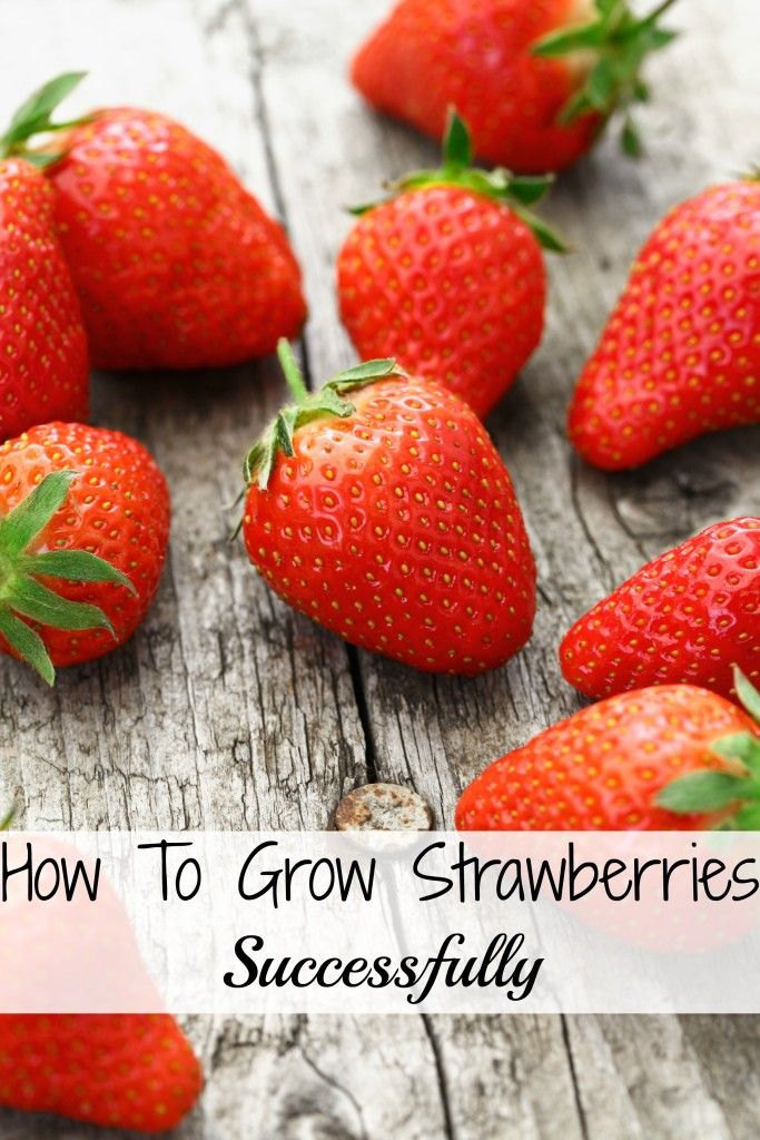 How To Grow Strawberries Successfully