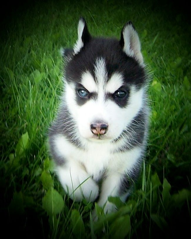Siberian Husky Puppies For Sale In Wisconsin Cute Puppies