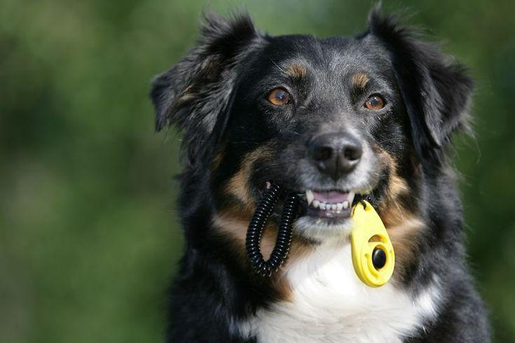 Clicker para perros, ¿cómo utilizarlo en el adiestramiento?