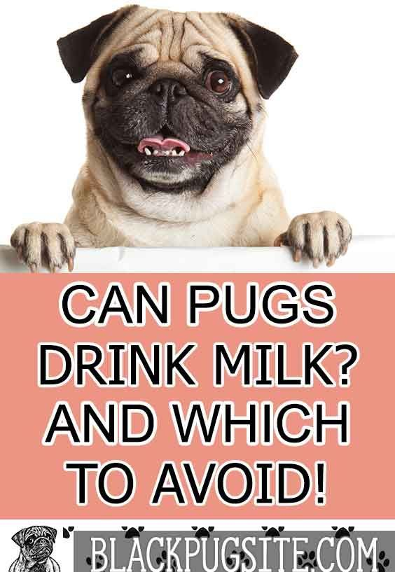 Can Pugs Drink Milk And The Best Milk To Give Your Puppy Fruit