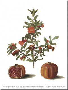 Punica granatum Wall Art, print size 84 cm x 120 cm 1649-1659 Johannes Simon Holtzbecher SMK.dk