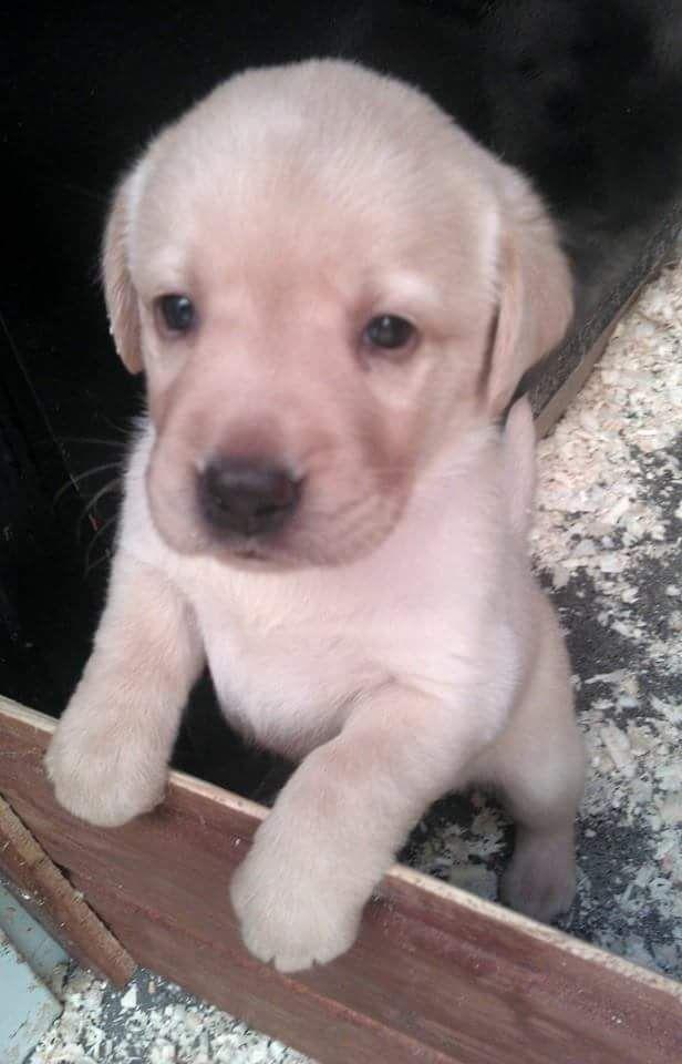 Ki születik vakvezetőnek? - Hírek #kutya #dog #puppy #labrador #kutyabarathelyek
