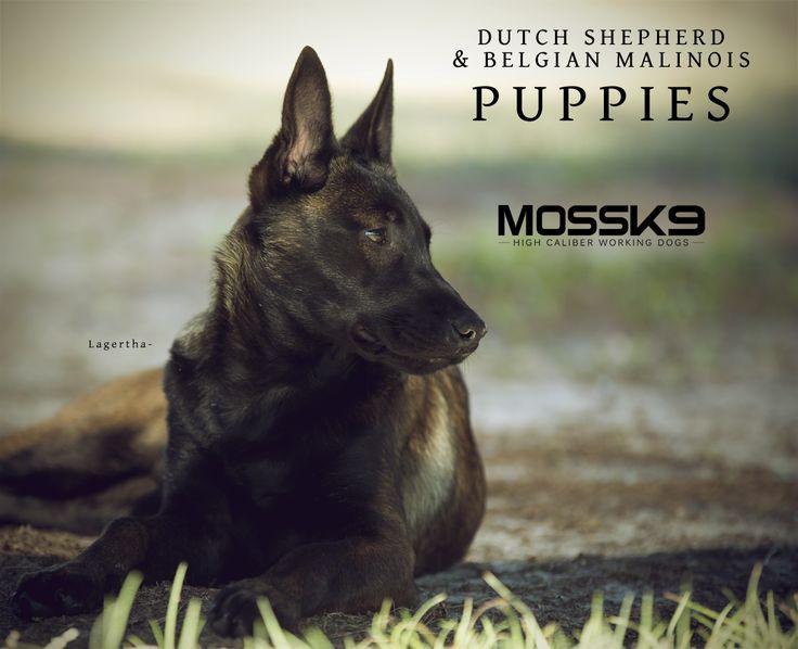 Belgian Malinois Dutch Shepherd Puppies For Sale Moss K9