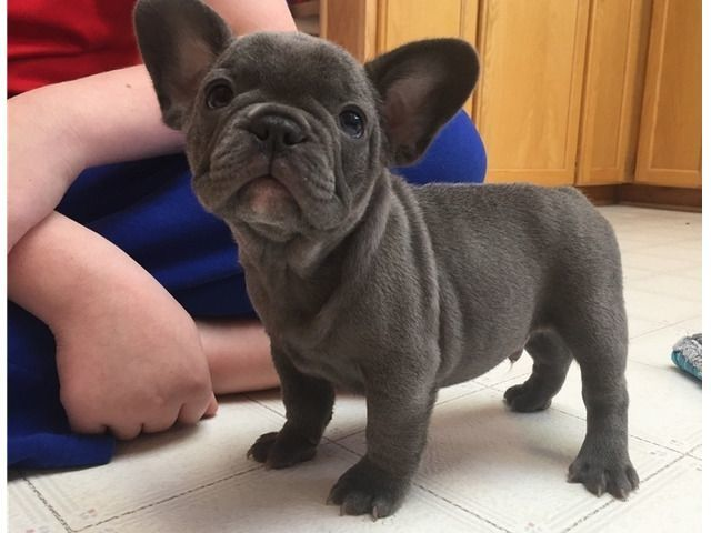 Blue French Bulldog Puppies Available Now French Bulldog Puppies