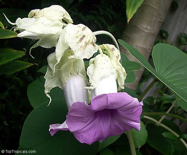 Hawaiian Baby Woodrose  - Adhoguda or Vidhara, Elephant Creeper and Woolly Morning Glory. Though it can be invasive,The seed pods look like little wooden roses. Its leaves are heart-shaped and its trumpet-shaped flowers are white with deep purple throats