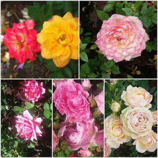 RunoMaalari: Ruusut nuo kaunottaret
