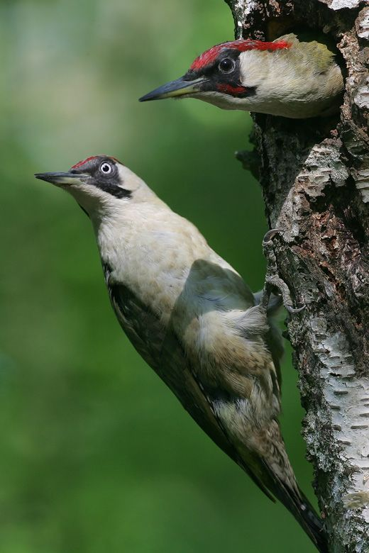 Green woodpecker ((Picus viridis)