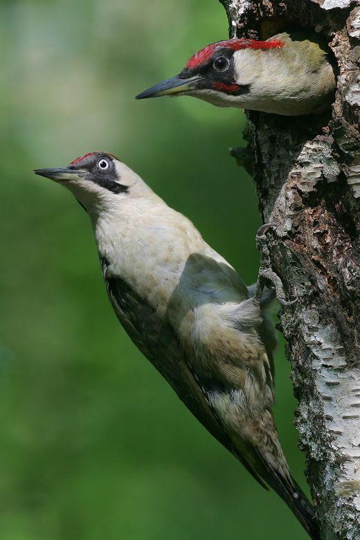 Green woodpecker ((Picus viridis)