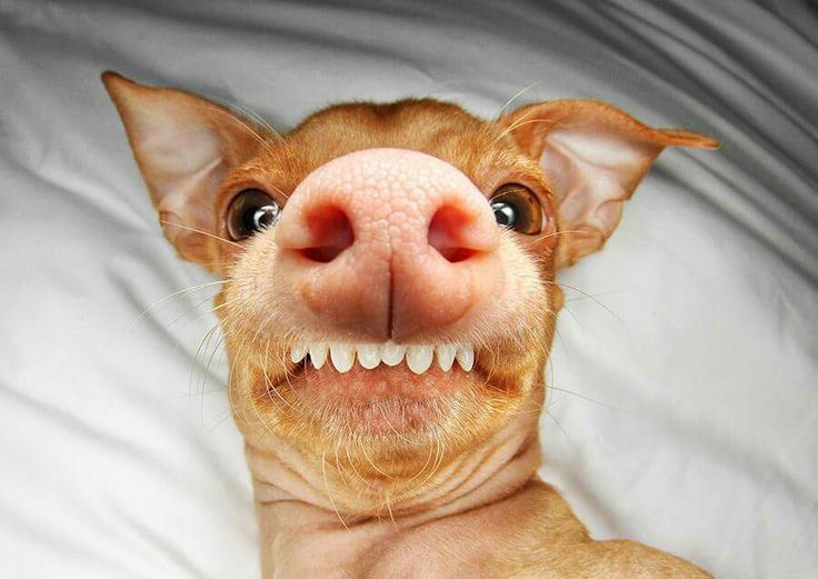 Phteven Dog Breed