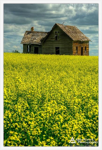 Old house and canola field, Bruderheim, Alberta