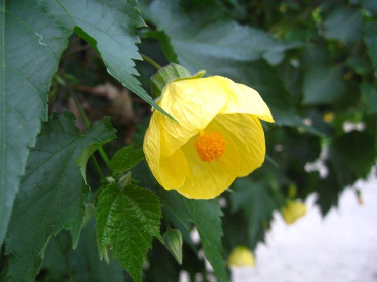 Flor amarilla. #flor #flower