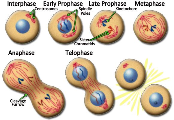 Image of mitosis in an animal cell   Mitosis, Cell ...