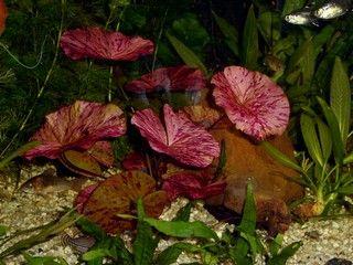 De Tijgerlotus ofwel de Numphaea lotus zijn bijzondere aquariumplanten met prachtige rode tijger kleuren.