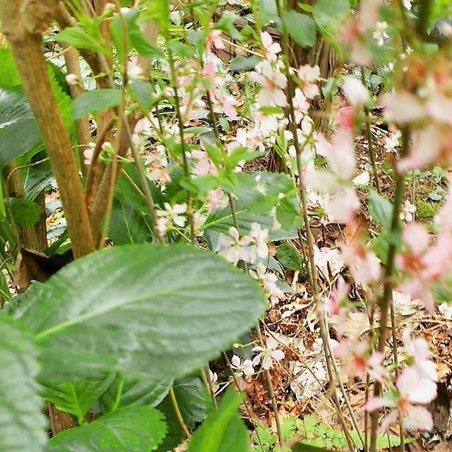 実家のユスラウメ落とした実から苗が育っていました 低いところで満開に小さい小さいヒト達がお花見するのにちょうどよい