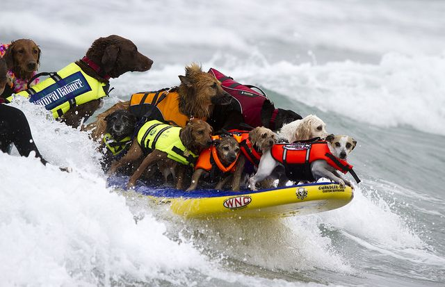 17 dogs on a surf board.  A new Guinness world record