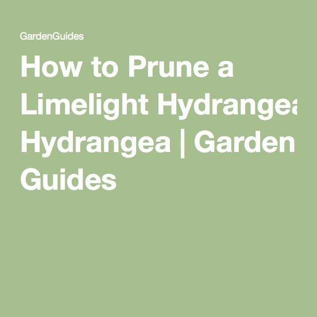 How to Prune a Limelight Hydrangea | Garden Guides