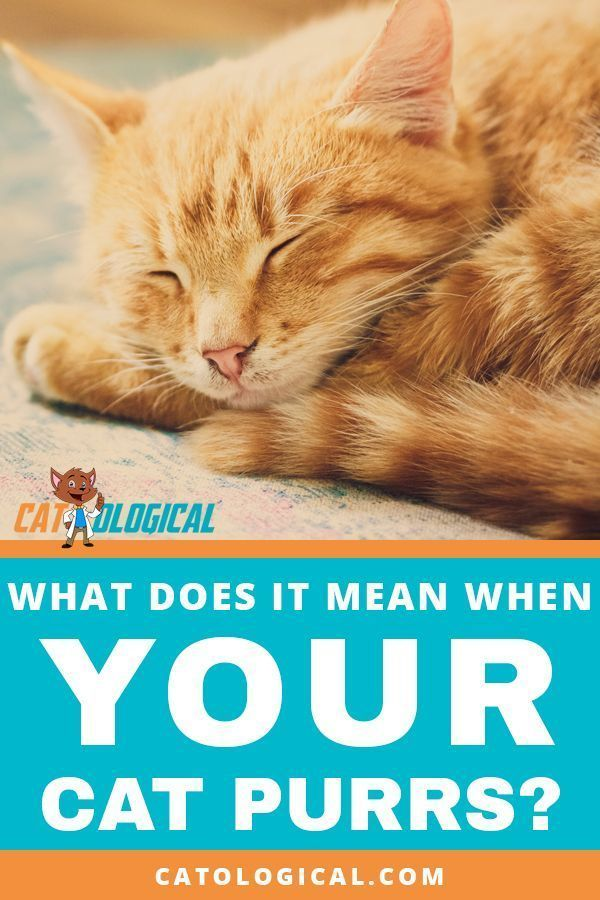 What Does It Mean When Your Cat Purrs Do Cats And Kittens Only Purr When They Re Happy And Content Or Can It Show Other Emo Cat Purr Purring Cat Cat Behavior