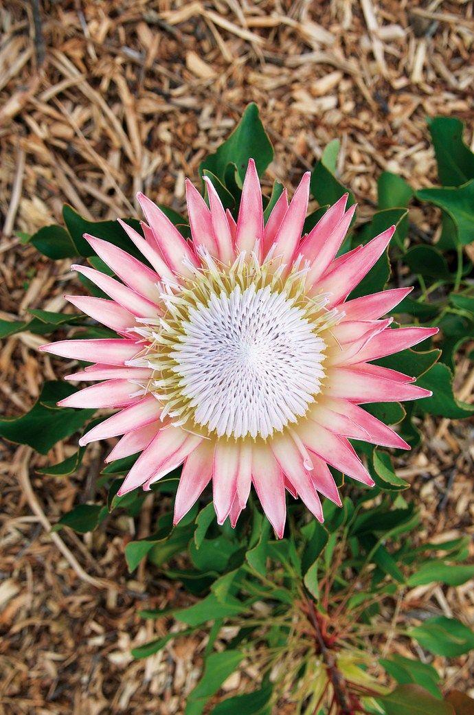 King proteas reign supreme in this indigenous Stellenbosch garden.